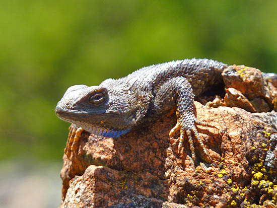 A lizard rests on a serpentine outcrop along the Simmons Trail